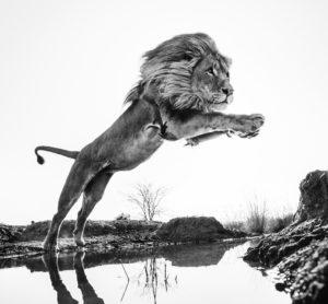 Lion King © David Yarrow